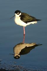 stork(0.0), seaduck(0.0), sandpiper(0.0), animal(1.0), charadriiformes(1.0), wing(1.0), fauna(1.0), reflection(1.0), ciconiiformes(1.0), stilt(1.0), shorebird(1.0), beak(1.0), bird(1.0), wildlife(1.0),