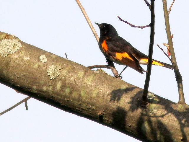American Redstart 20110511