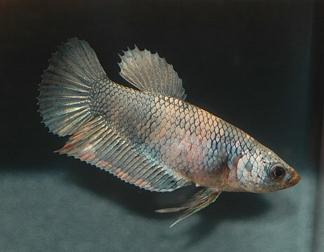 Hmpk marble f banleang flickr photo sharing for How much does a betta fish cost