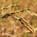 Small photo of Rice Panicle