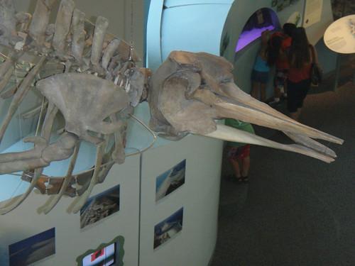 Baird's beaked whale skeleton