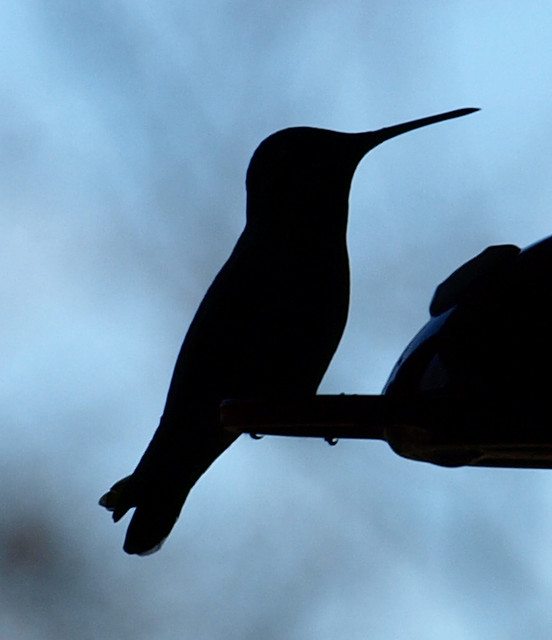 Silhouette of a Hummingbird by jhhwild
