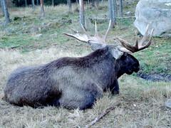 elk(0.0), wildlife(0.0), cattle-like mammal(1.0), moose(1.0), fauna(1.0),