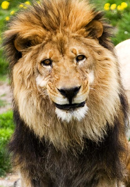 Smiling Lion | I have never seen a lion smile before. | By ...