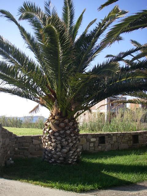 Palm tree that looks like a pineapple