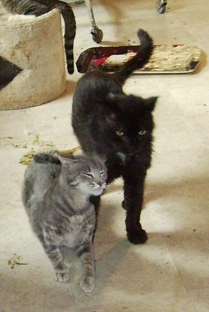 Mickey Cat Breed