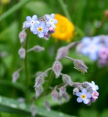 annual plant, flower, plant, macro photography, herb, flora, forget-me-not,