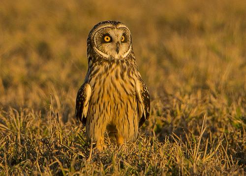 Short-eared Owl Standing
