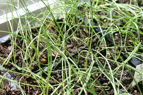 onion seedlings 134