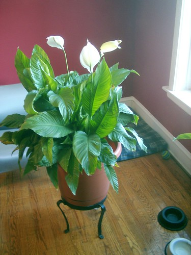 Adventures from a quagmire my buddy the house plant this lily 39 s no pansy - House plants names and pictures ...