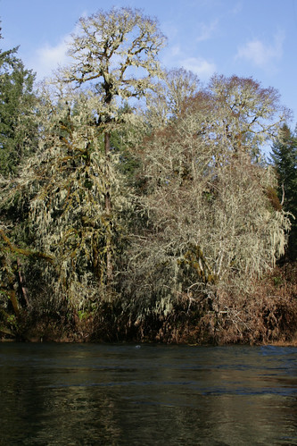 The caddis fly oregon fly fishing blog mckenzie river for Alsea river fishing report