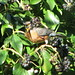 Small photo of American Robin (El Cerrito)
