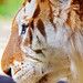 Profile of a golden tiger