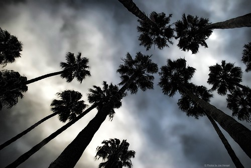 palmtrees palmtree palm palmfronds tree trees california clouds ca cloudsorangecounty cloudy winter height tall giants among socal southerncalifornia sunset orangecounty oc outdoor goldenstate silhouette silhouettes sky dohenybeach statebeach dohenystatebeach