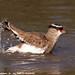 Crowned Plover splashing in rain puddle IMG_1260