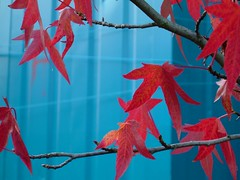 Red leaves, Blue Metal