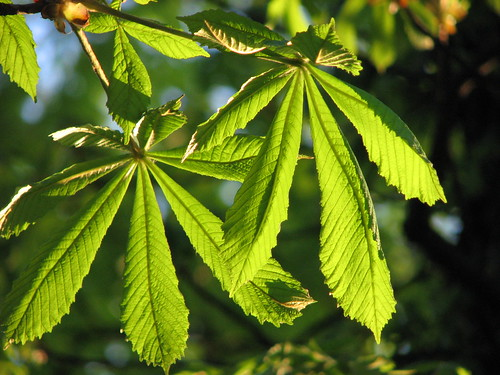 Chestnut tree leafs at sunset