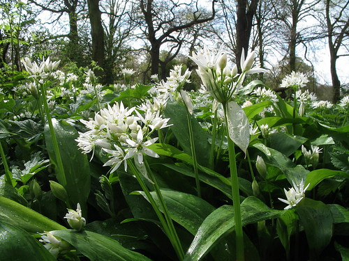 Allium ursinum (Ramsons) Darley fields