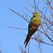 Austral Parakeet, Torres Del Paine