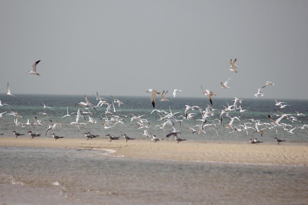 Aves Cap Tafârît Banc Darguin Mauritanie Img8119 Carlos Reis