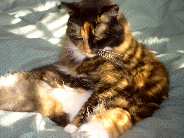 lhasa the tubby turtle shell cat | Flickr - Photo Sharing!