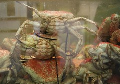 spiny lobster(0.0), crayfish(0.0), dungeness crab(0.0), king crab(0.0), homarus(0.0), food(0.0), american lobster(0.0), crab(1.0), animal(1.0), freshwater crab(1.0), shellfish(1.0), crustacean(1.0), seafood(1.0), marine biology(1.0), invertebrate(1.0), fauna(1.0),