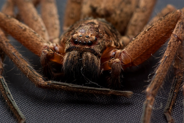 Brown Huntsman Spider (Heteropoda jugulans)