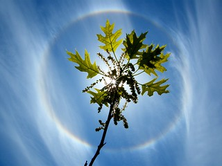 Sun Halo Leaves