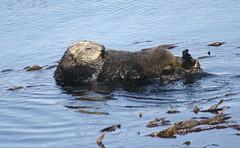 mustelidae(0.0), muskrat(0.0), animal(1.0), marine mammal(1.0), fauna(1.0), sea otter(1.0), wildlife(1.0),