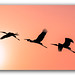 Panoramic Silhouette of Painted Stork flying against the setting Sun by FotographyKS!