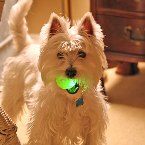 1659786179 0dbe0068b0 Wee Westies Nuclear Ball