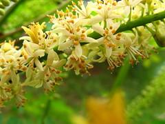 honeysuckle, evergreen, flower, branch, tree, plant, wildflower, flora,
