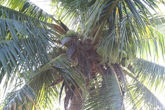 arecales, tropics, borassus flabellifer, coconut, branch, leaf, tree, plant, produce, food, elaeis,