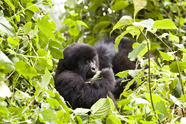Gorila de montaña en Ruanda.