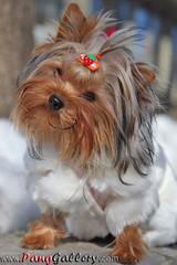 dog breed(1.0), animal(1.0), puppy(1.0), dog(1.0), pet(1.0), australian silky terrier(1.0), mammal(1.0), biewer terrier(1.0), morkie(1.0), yorkshire terrier(1.0), terrier(1.0),