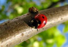 animal, ladybird, branch, nature, invertebrate, insect, macro photography, fauna, close-up, leaf beetle, beetle, plant stem, wildlife,