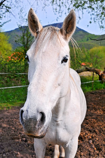 Another white horse | by Tambako the Jaguar