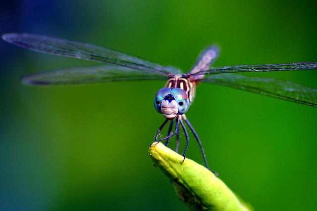 Dragonfly Macro Vers