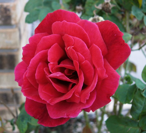 The Red January Rose