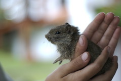 squirrel(0.0), animal(1.0), rodent(1.0), pet(1.0), mouse(1.0), hamster(1.0), fauna(1.0), close-up(1.0), degu(1.0), whiskers(1.0), gerbil(1.0),