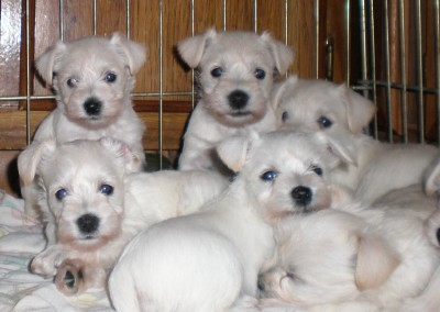 Miniature Schnauzer Puppies on White Miniature Schnauzer Puppies   Flickr   Photo Sharing