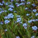 forget-me-nots in verden