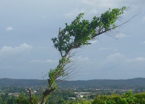 Arbusto siguiendo el viento en Upata  by alfreruizcorrea1966