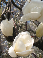 flower, magnolia, white, macro photography, flora, close-up, spring, petal,