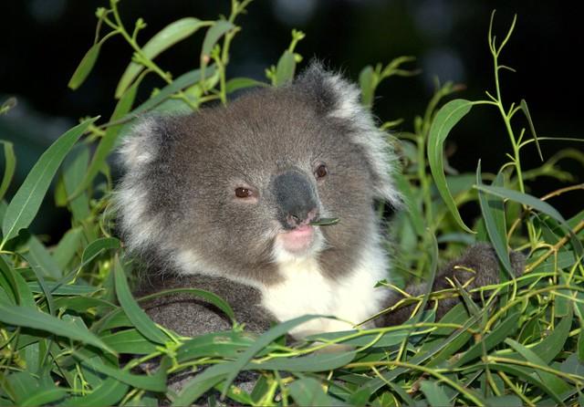Cute baby koala - photo#15
