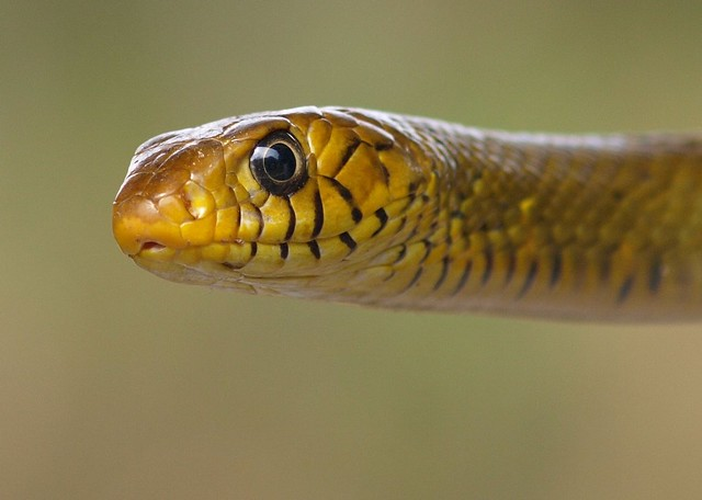 Common snakes in india