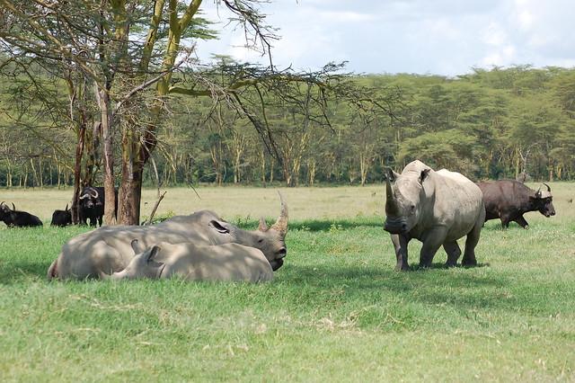 Rinocerontes en el Parque Nacional del Lago Nakuru