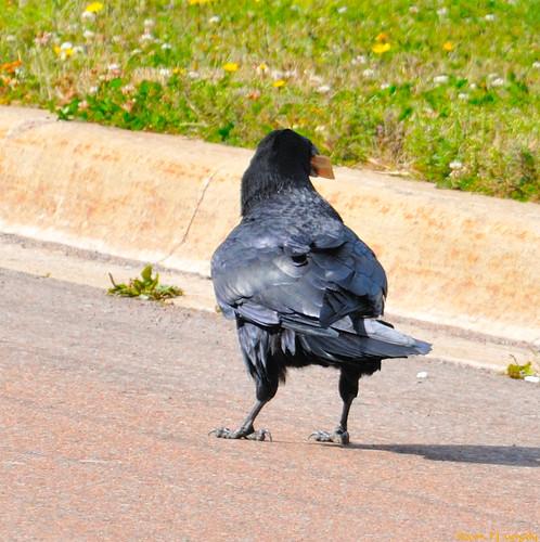 birds geotagged cropped crows ravens allrightsreserved©drgnmastrpjg rawjpg geo:lat=46116443 geo:lon=64688948