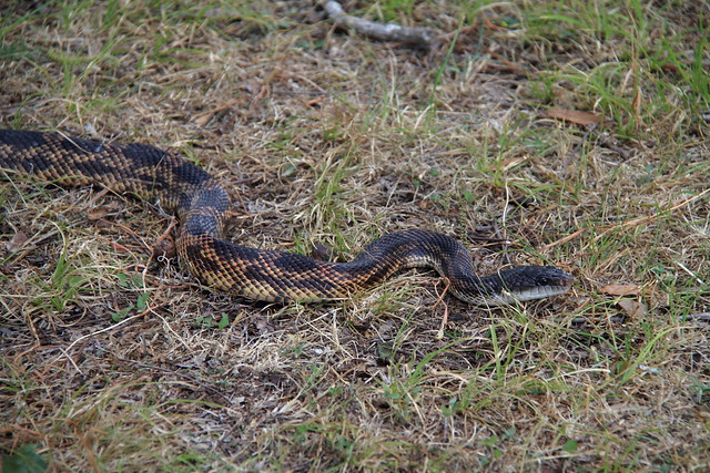 rat snake texas images - photo #3
