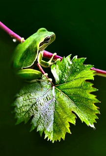 Explore:small frog on vine leaves....!!!